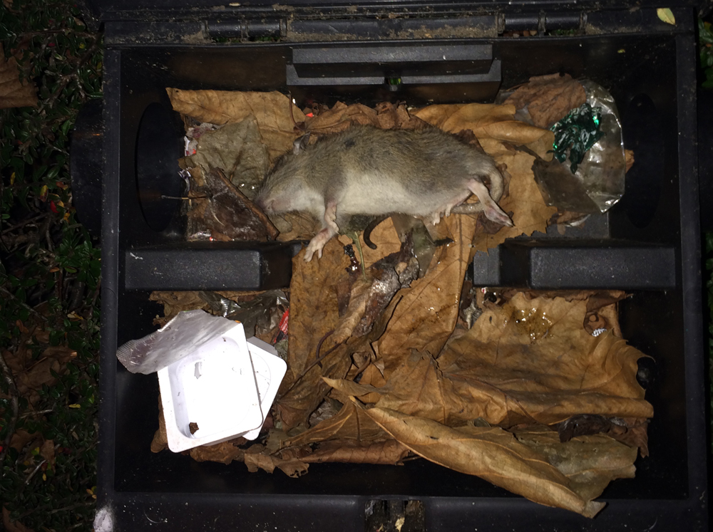 Rat pest control box ready to be removed after infestation