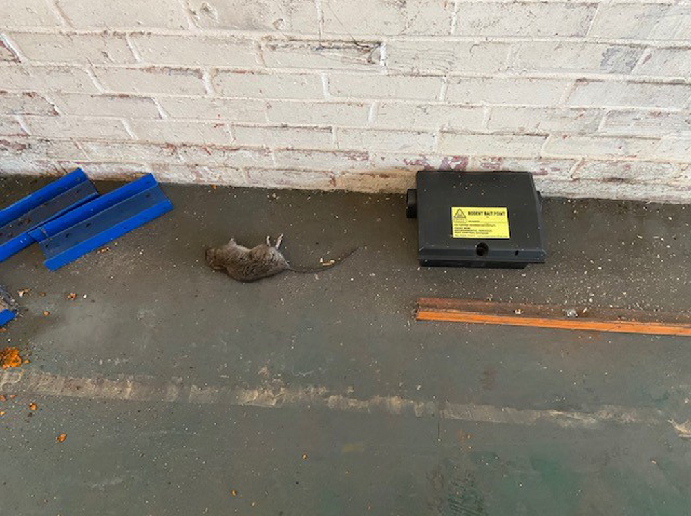 Rodent box being routinely inspected